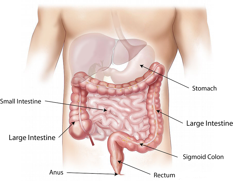 view of the intestines
